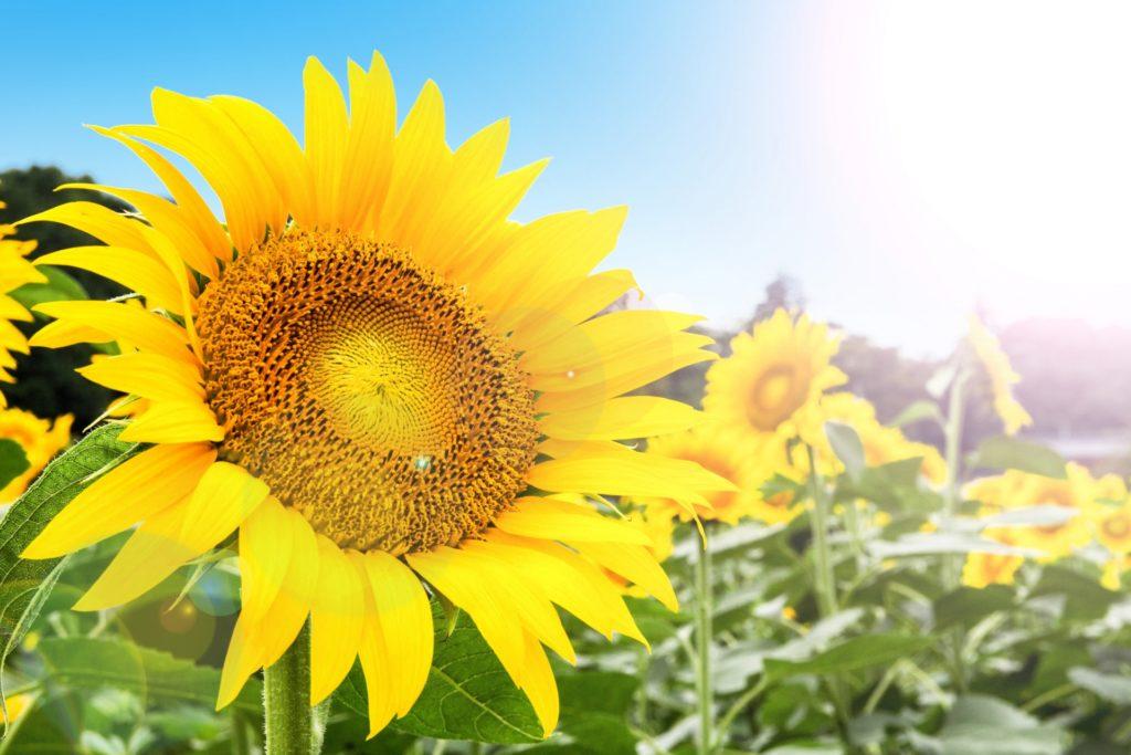 ひまわりが太陽の方向を向かない?その理由と生態について | ファインドクリップ
